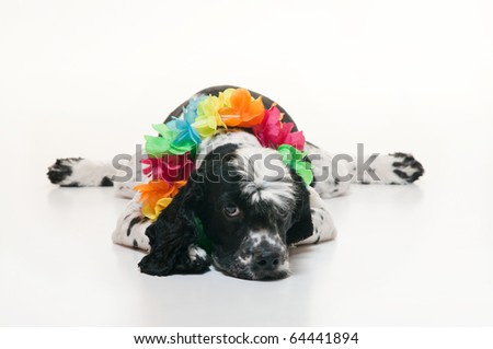 A black and white Cockalier Spaniel dog (half Cocker Spaniel and half Cavalier King Charles Spaniel). He is lying down and wearing a Hawaiian lei and looks exhausted, perhaps from partying too much. - stock photo