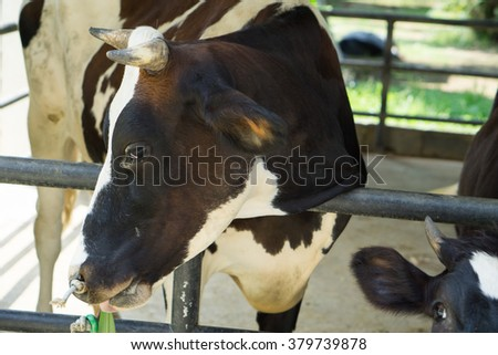 A black and white cow on a dairy farm in the Israeli agricultural community of Arbel. - stock photo