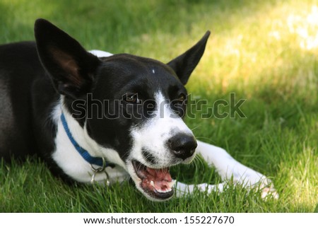 A Black and White Dog Chewing On A Toy In The Sun On The Green Grass. - stock photo