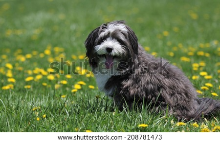 A black and white fluffy dog rests at the park on the green grass.