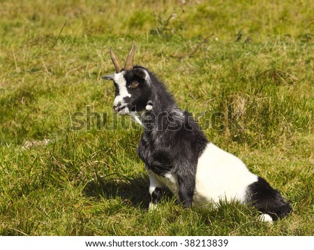 a black and white goat in a grassy meadow