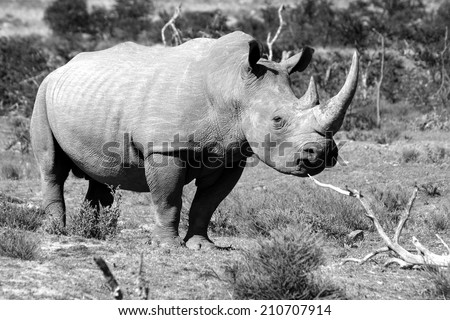 A black and white image of a huge white rhino / rhinoceros bull. - stock photo