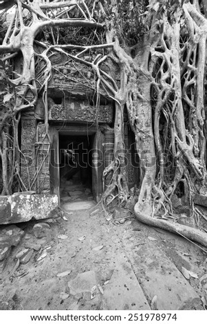a black and white image of the ancient ruins of Ta Prohm which are slowly being taken over by the Cambodian rainforest - stock photo