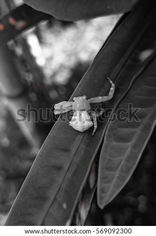 A black and white photo of a female White Crab Spider, also known as the White Flower Spider resting on a small leaf in a garden in Brisbane, Australia.