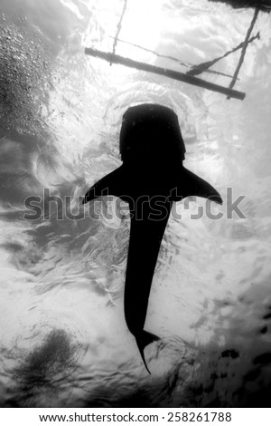 A black and white photo of a whale shark from below