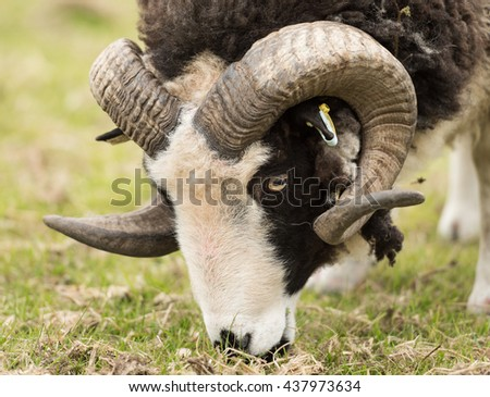A black and white ram, with beautiful strong curly horns eating grass in a field. - stock photo