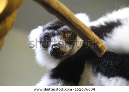 A Black-and-white ruffed lemur hiding behind a stick - stock photo