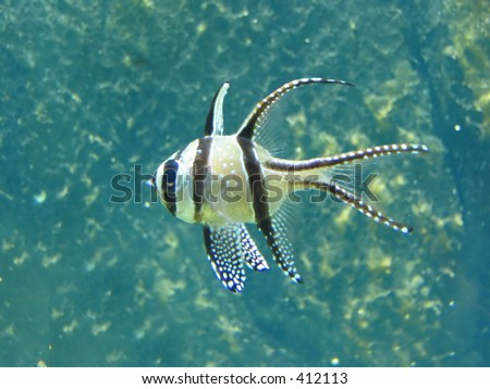 A black and yellow stripy tropical fish - stock photo