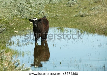 A black Angus beef cow stands in the middle of a small body of water and casts a reflection. - stock photo