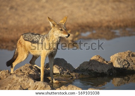 A Black backed Jackal (Canis mesomelas) stood watching at a waterhole in Kgalagadi Transfrontier Park, South Africa. Water dripping from it's mouth having just taken a drink - stock photo