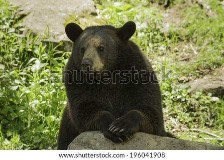 A black bear - stock photo