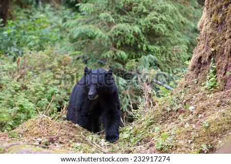 A black bear comes out of the rainforest
