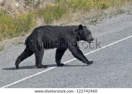 A black bear crossing the road in Alaska British Columbia - stock photo