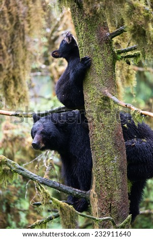 A black bear cub (coy) hangs onto a tree, looking upward, while his mother sits on branches below him in the rainforest - stock photo