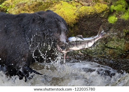 A black bear eating a salmon in a river with splash and blood Alaska Fast food - stock photo
