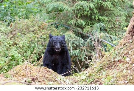 A black bear emerging from the rainforest