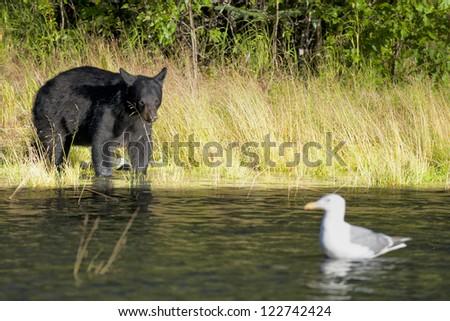 A black bear looking a seagull in Russian River Alaska - stock photo