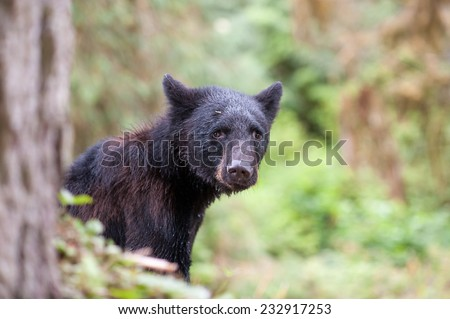 A black bear looks awkwardly at the photographer, profile