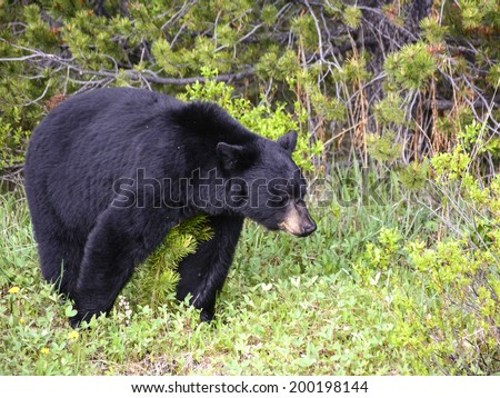 A black bear searching for food in the spring time in Jasper, Alberta - stock photo