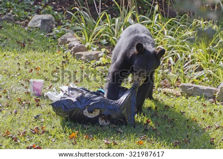 A black bear tears apart a residential garbage bag it stole prior to eating its trash