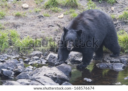 A black bear while coming to you across the creek