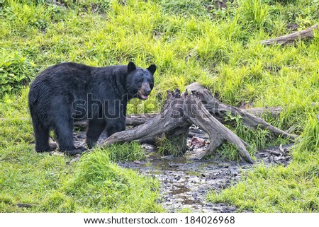 A black bear while eating on grass background - stock photo