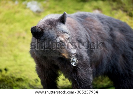 A black bear with a bubble hanging from his mouth; looking back over his left shoulder