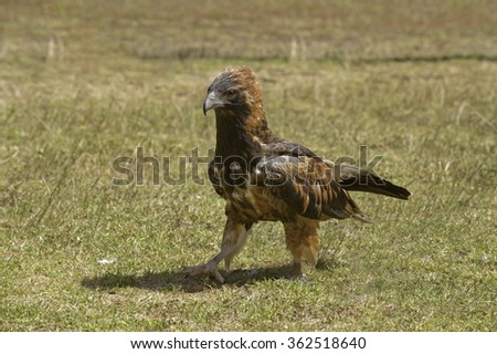 A black-breasted buzzard (Hamirostra melanosteron) struts across a field.  A versatile hunter, it is best known for its ability to crack large emu eggs by using stones.