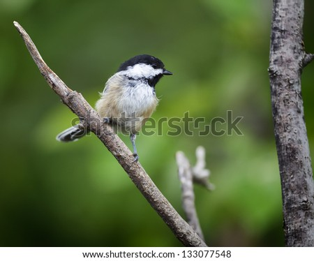A Black-cap Chickadee perched on a stick with a green background. - stock photo
