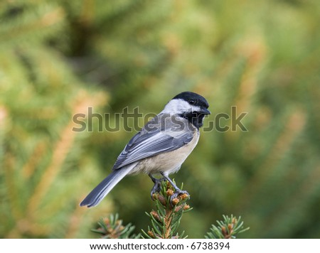 A black capped chickadee - stock photo