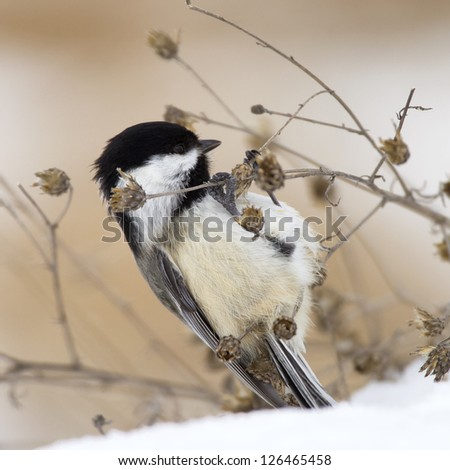 A Black-capped Chickadee feeding on plants in the snow. - stock photo