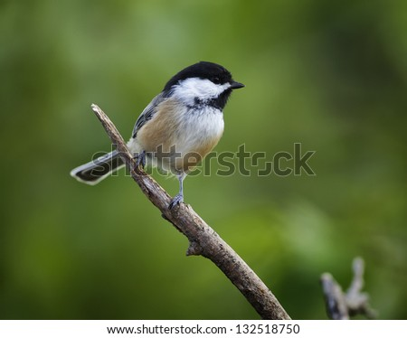 A Black-capped Chickadee perched on a bare tree limb with a green background. - stock photo