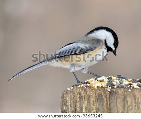 A black-capped chickadee perched on a post.