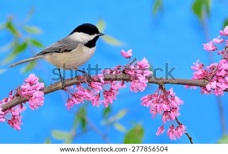 A Black- capped Chickadee (Poecile atricapillus) on a flowering redbud branch. - stock photo