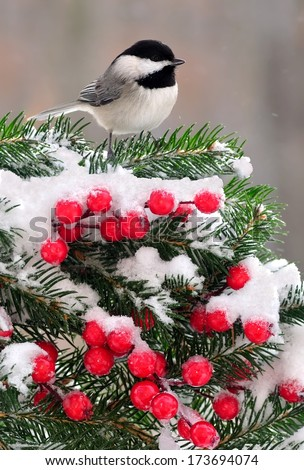 A Black- capped Chickadee (Poecile atricapillus) on a snowy festive spruce bough. - stock photo