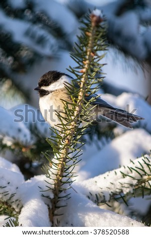 A black-capped chickadee, Poecile atricapillus, perched on a snowy spruce branch. - stock photo