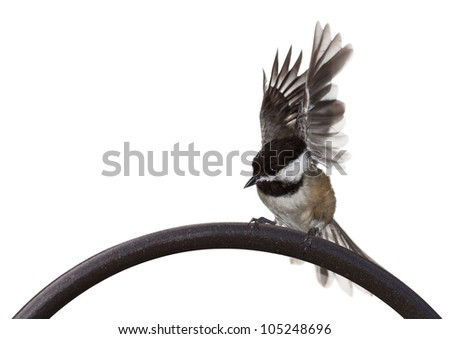 A black capped chickadee thrashes its wings at the start of its take off. bird on arch of iron shepherds hook with a white background.