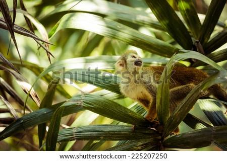 A black-capped squirrel monkey sitting on a tree (Saimirinae Saimiri boliviensis)  - stock photo