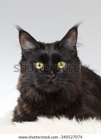 A black cat portrait. Image taken in a studio.