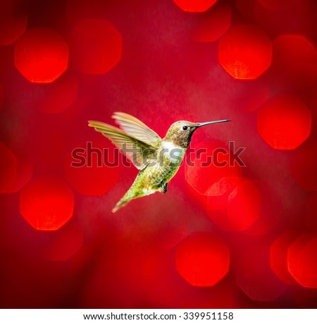 A Black Chinned Hummingbird flying against a red festive background giving of a festive atmosphere. This makes a very unusual Christmas card to any hummingbird or wild life enthusiast. Special card. - stock photo