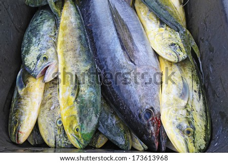 A black cobia (Rachycentron canadum) and many irridescent mahi-mahi or dolphinfish (Coryphaena hippurus) in a wheelbarrow after a day of sport fishing off the outer banks of North Carolina - stock photo