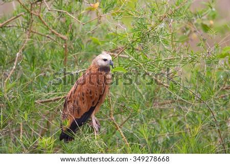 A Black collared Hawk (Busarellus nigricollis) perched in wetland vegetation, Pantanal, Brazil - stock photo