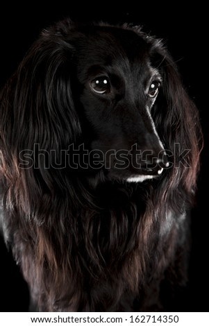 a black dachshund on a black background - stock photo