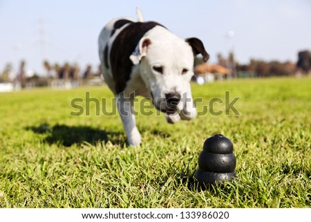 A black dog toy at the front of the frame, with a blurred Pit Bull running towards it. - stock photo
