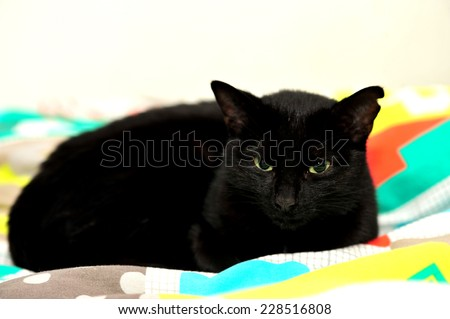 A Black female cat on coloured background in studio