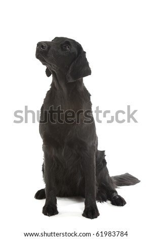 a black flat coated retriever on white background