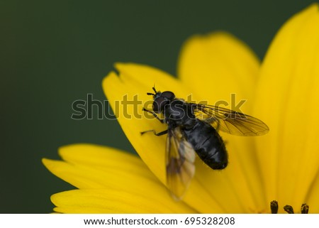 A black fly resting on a yellow flower.