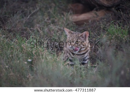 A Black-footed cat licking it's lips while it hides in the thick veld