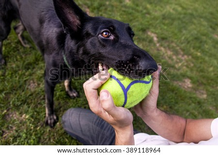 A black German Shepherd dog playing with its owner on a frisk morning in the park. - stock photo