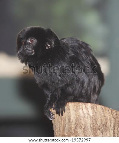 A black Goeldi's tamarin, also known as a marmoset sitting on a tree stump - stock photo